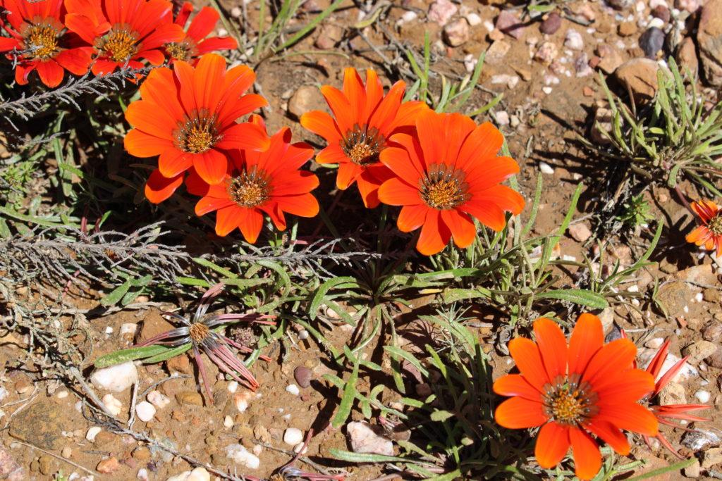 Jakkalsblom - western cape flowers