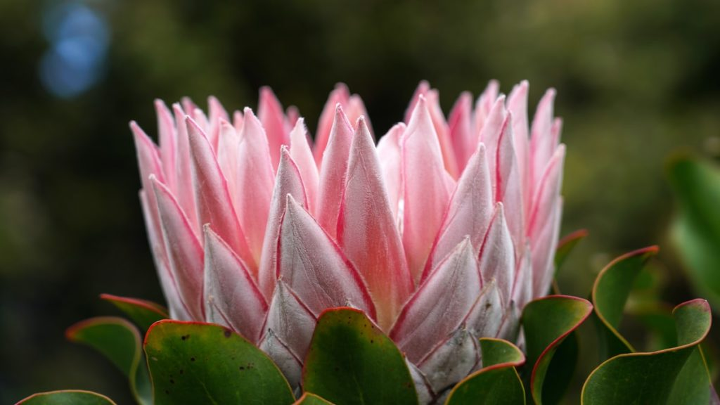 king protea - western cape flowers
