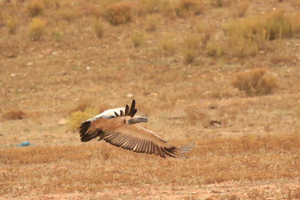 Cape Vultures at Melozhori